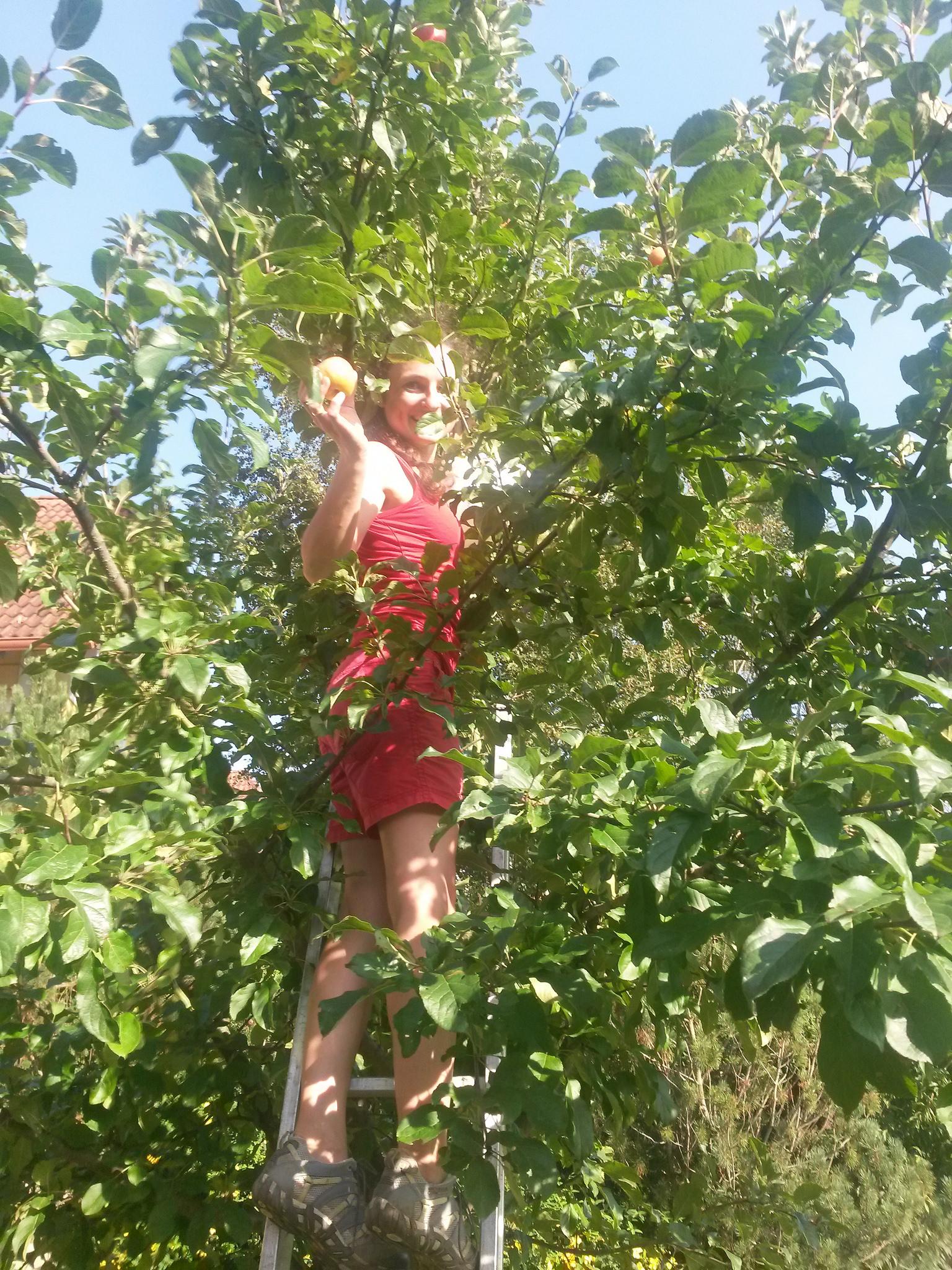 Die ersten Bio-Äpfel werden geerntet
